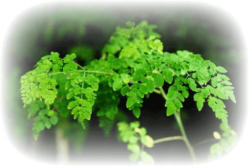 About Moringa, About Moringa, Nia Pure Nature